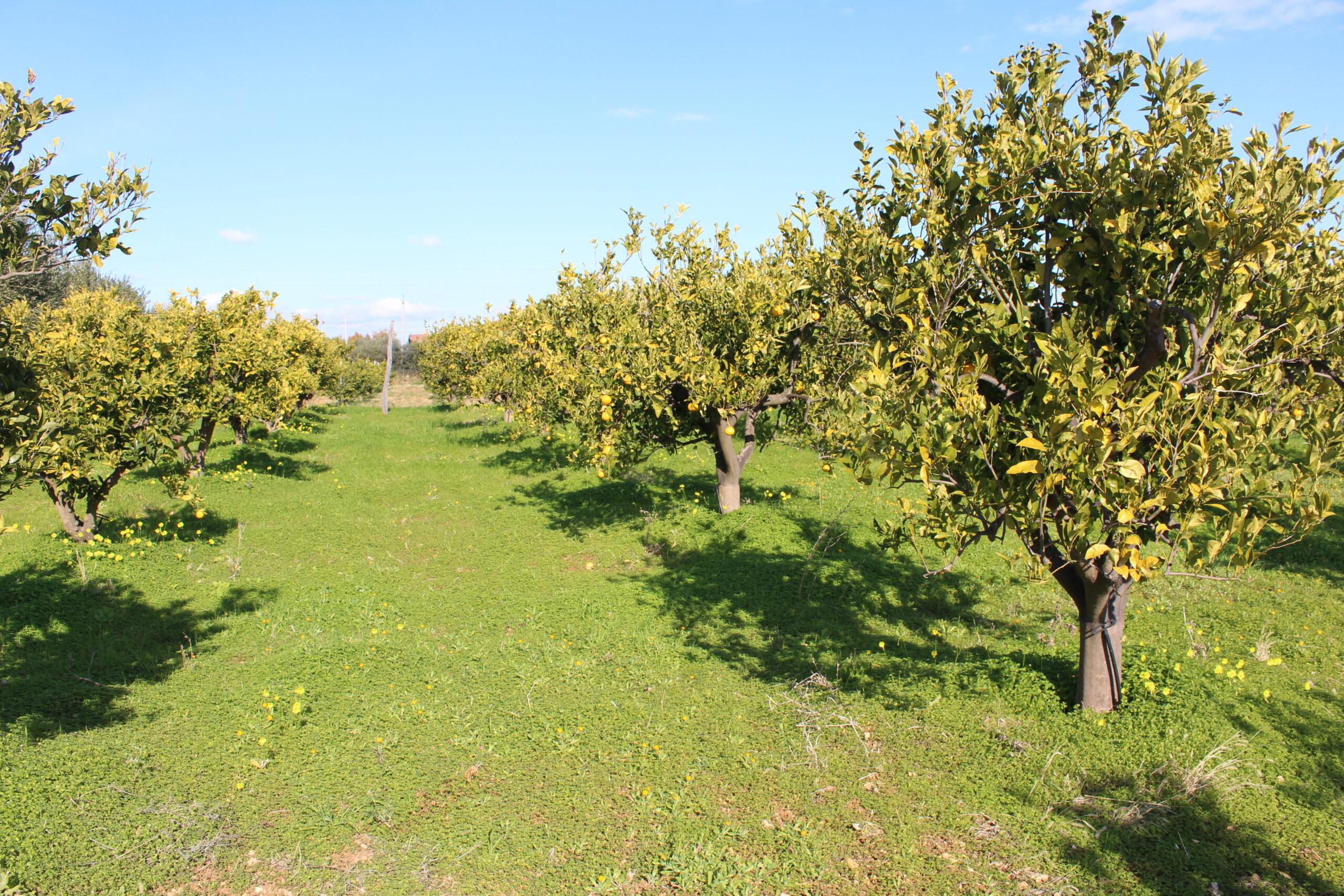 Nova Siri – Contrada Lucido – Terreno Agricolo irriguo con abitazione e depositi.